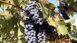 wine_grape